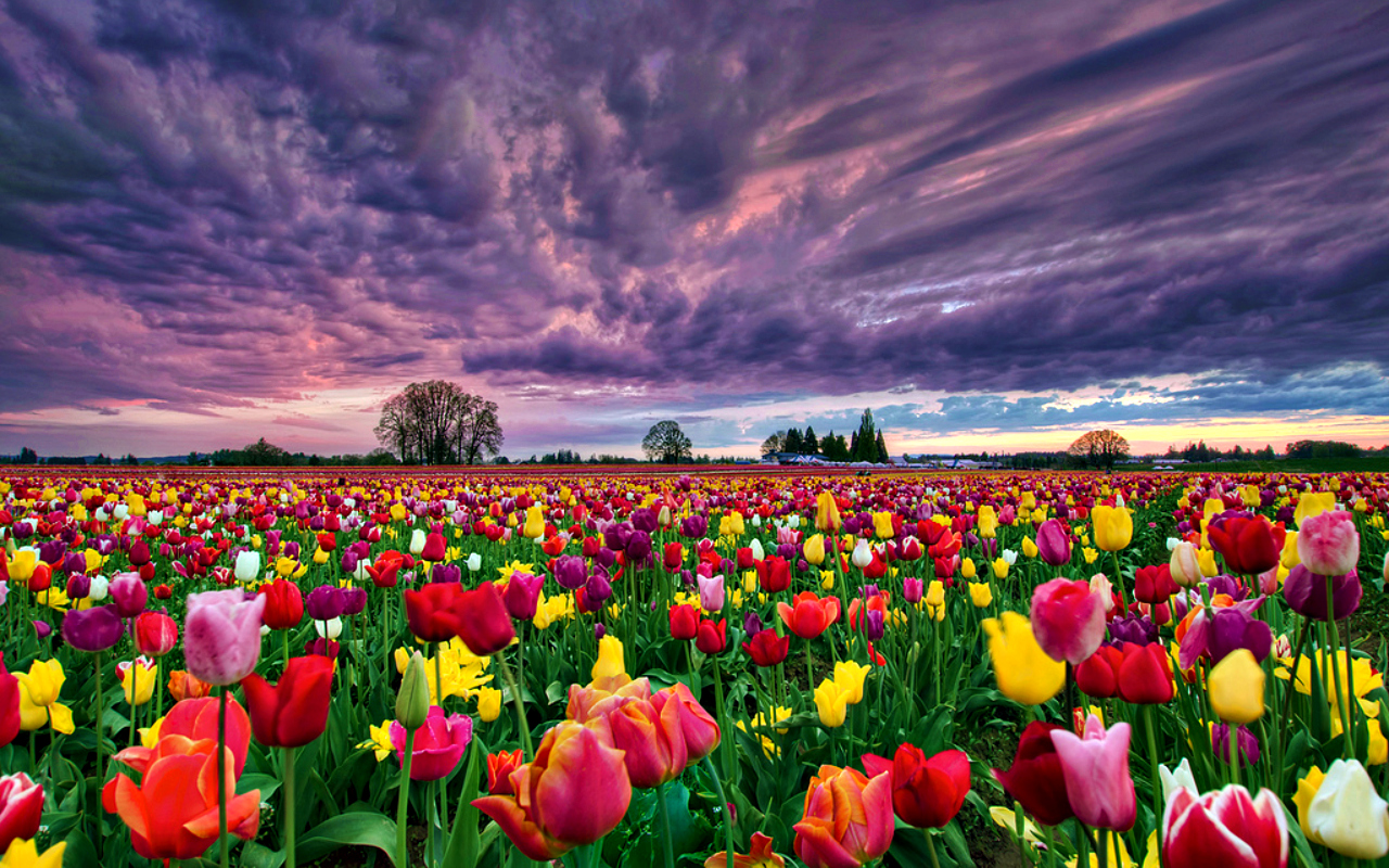 6820517-tulip-fields
