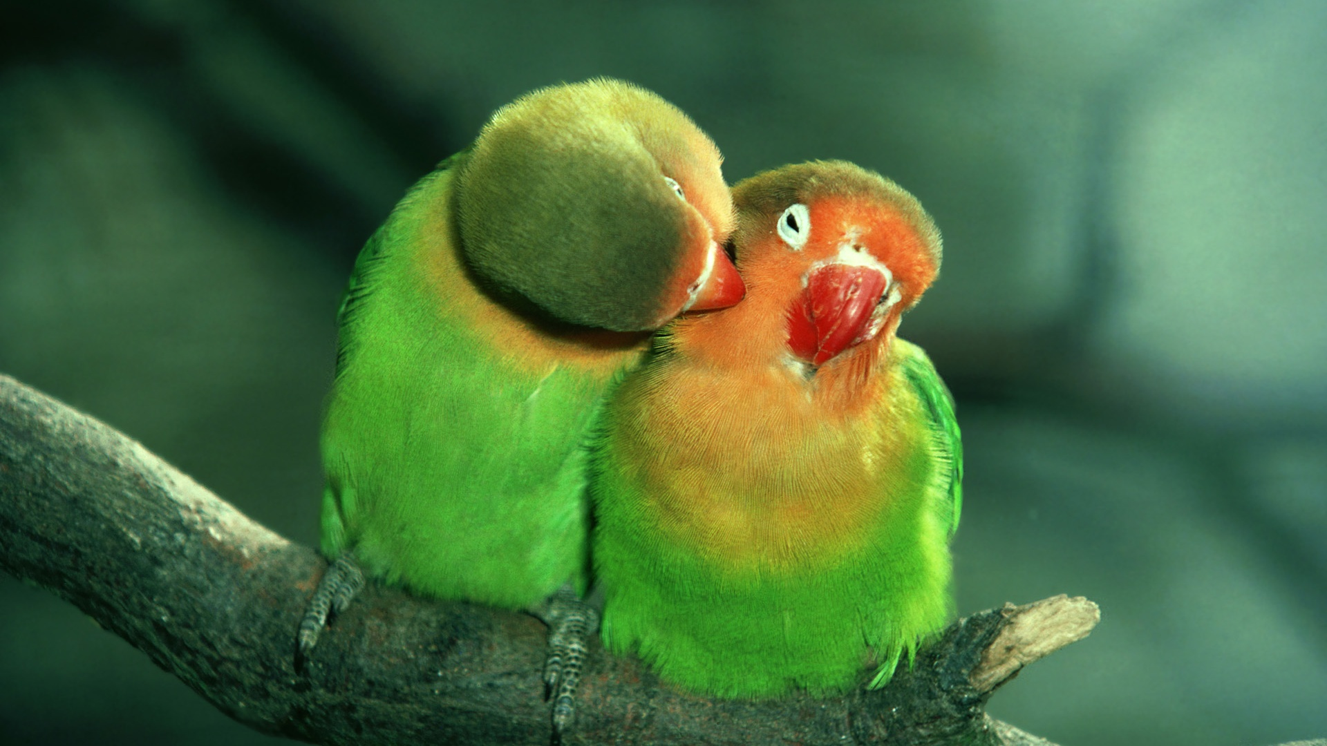 Expression-of-the-intimate-parrot-birds_1920x1080