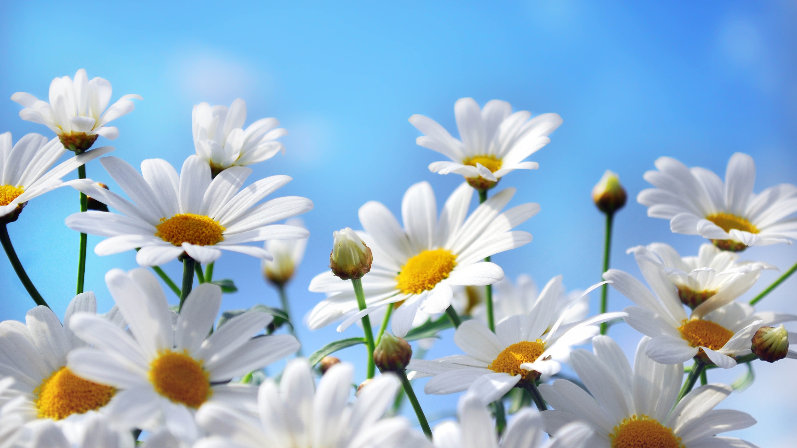 Nature-flowers-photography-daisies-petals-blue-sky_2560x1440