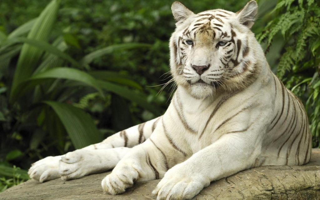 animals-jungle-tigers-versus-white-tiger-1920x1200-105076