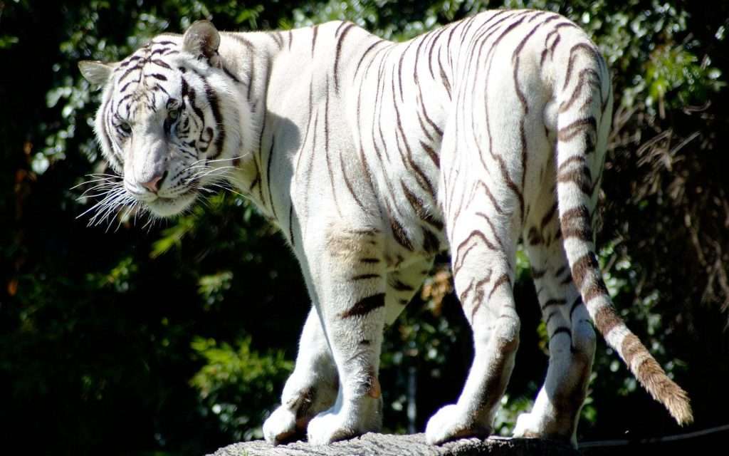 animals-mammals-rare-white-tiger-1920x1200-79146