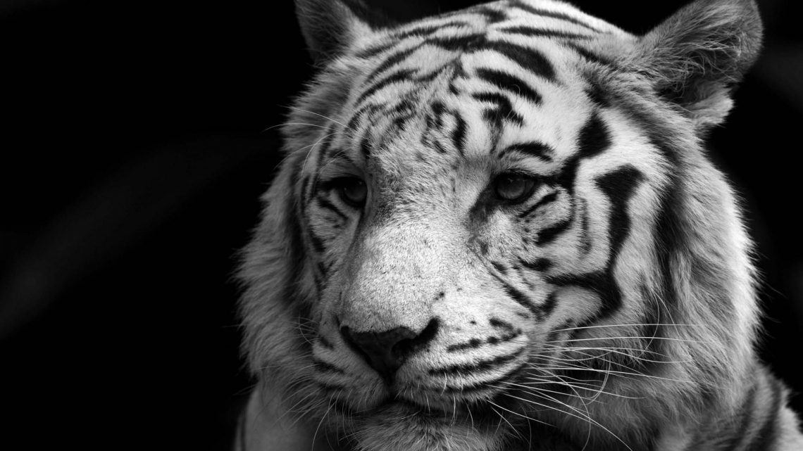 animals-monochrome-white-tiger-1920x1200-73123