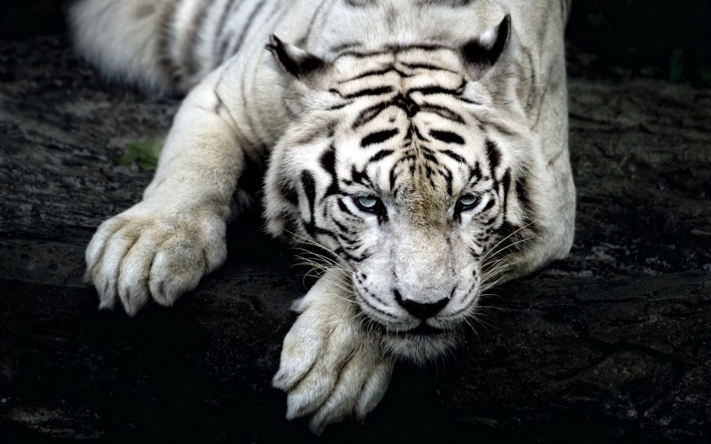 animals-tigers-white-tiger-1920x1200-10313