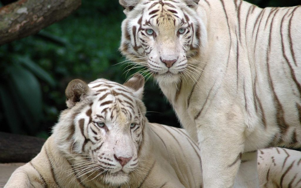 animals-tigers-white-tiger-snow-siberian-1920x1200-65145