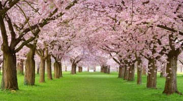 cherry-blossoms-forests-grass-landscapes-nature-1920x1080-20125