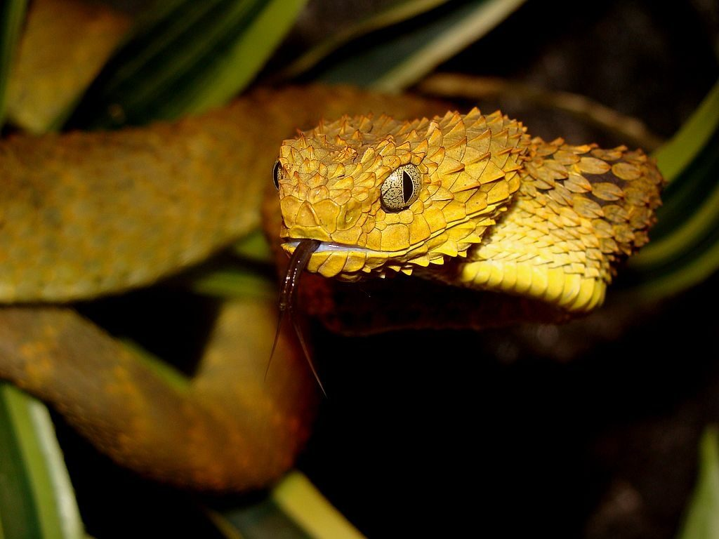Fondos-4K-HD-de-la-Serpiente-Atheris-Fotosdelanaturaleza.es (1)