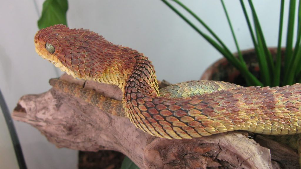 Fondos-4K-HD-de-la-Serpiente-Atheris-Fotosdelanaturaleza.es (12)