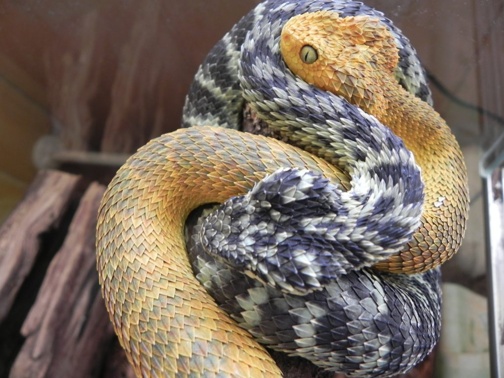 Fondos-4K-HD-de-la-Serpiente-Atheris-Fotosdelanaturaleza.es (16)