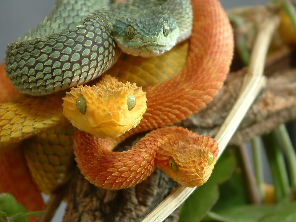 Fondos-4K-HD-de-la-Serpiente-Atheris-Fotosdelanaturaleza.es (18)