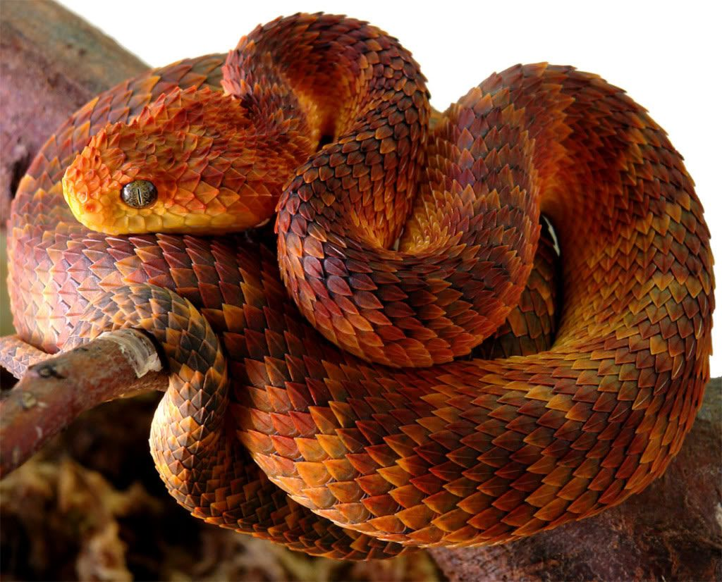 Fondos-4K-HD-de-la-Serpiente-Atheris-Fotosdelanaturaleza.es (20)