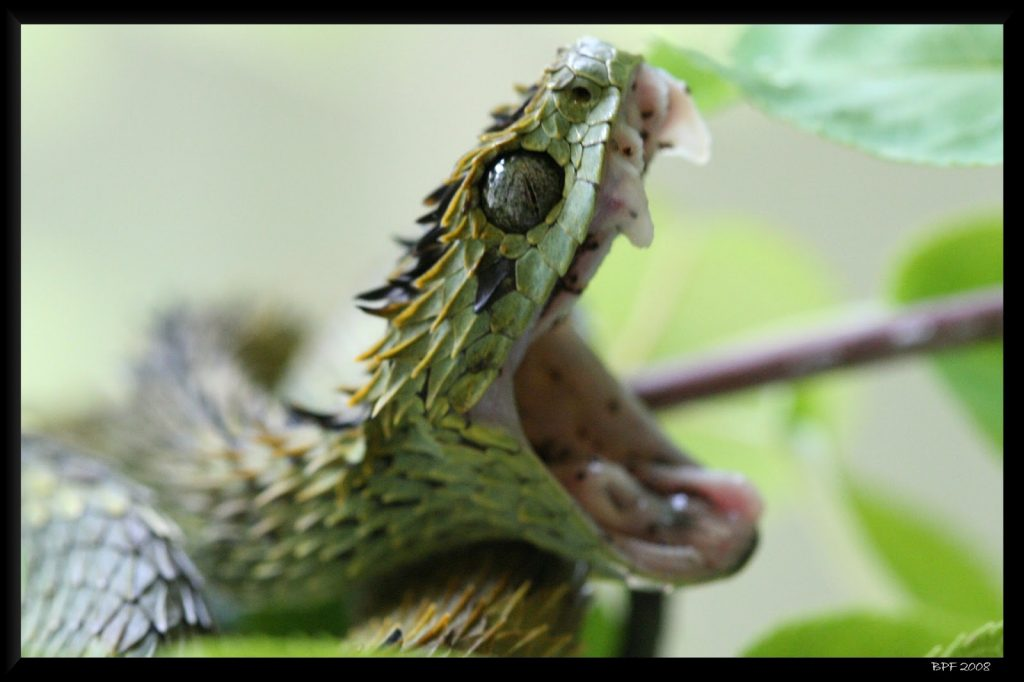 Fondos-4K-HD-de-la-Serpiente-Atheris-Fotosdelanaturaleza.es (22)