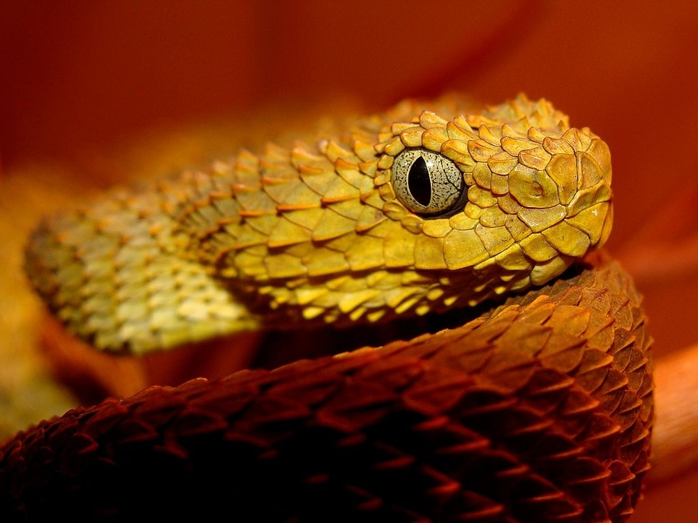 Fondos-4K-HD-de-la-Serpiente-Atheris-Fotosdelanaturaleza.es (6)