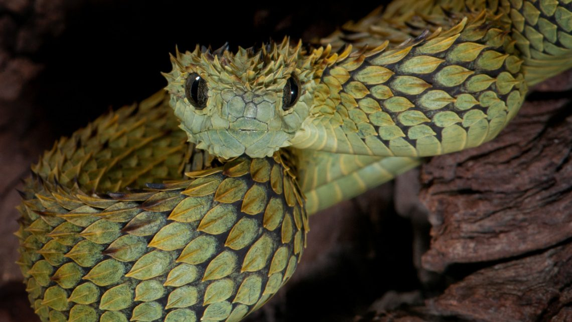 Fondos-4K-HD-de-la-Serpiente-Atheris-Fotosdelanaturaleza.es (9)