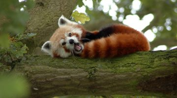 cute-red-panda-sleeping-1920x1080-67432