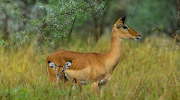 Wallpapers-HD-de-Antilopes-fotosdelanaturaleza (2)
