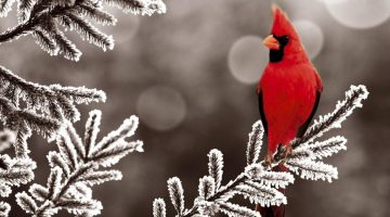 Wallpapers-HD-del-Cardenal-Rojo-fotosdelanaturaleza (1)