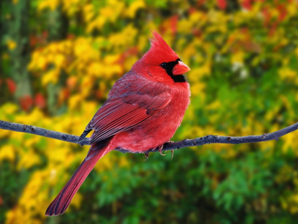 Wallpapers-HD-del-Cardenal-Rojo-fotosdelanaturaleza (3)