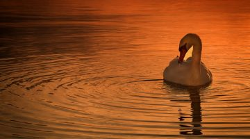 cisnes-hd-wallpaper-Fotosdelanaturaleza.es (10)