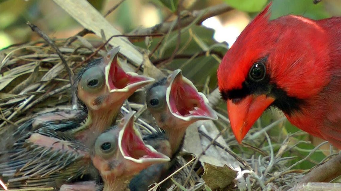 What Do Cardinals Eat For Food