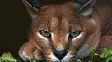 fotos-hd-del-caracal-fotosdelanaturaleza.es (11)
