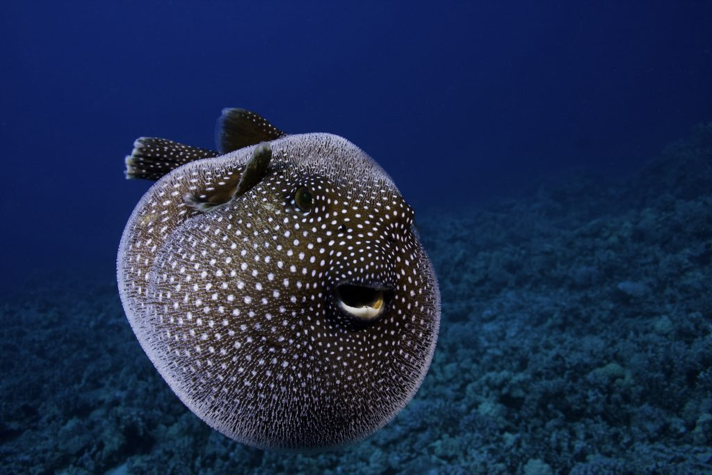 A Guineafowl Pufferfish (Arothron meleagris), Hawaii, USA.