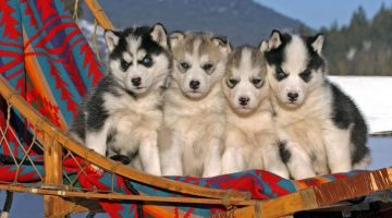 husky-siberiano-wallpapers-hd-fotosdelanaturaleza (18)
