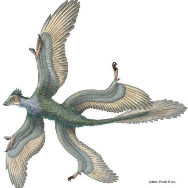 Four-Winged Dinosaur Found In China