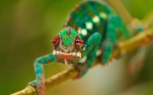1097221-chameleon-wallpaper-hd