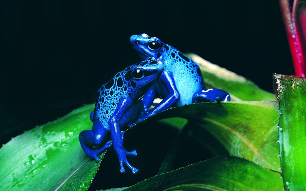 6952102-blue-frog-wallpapers