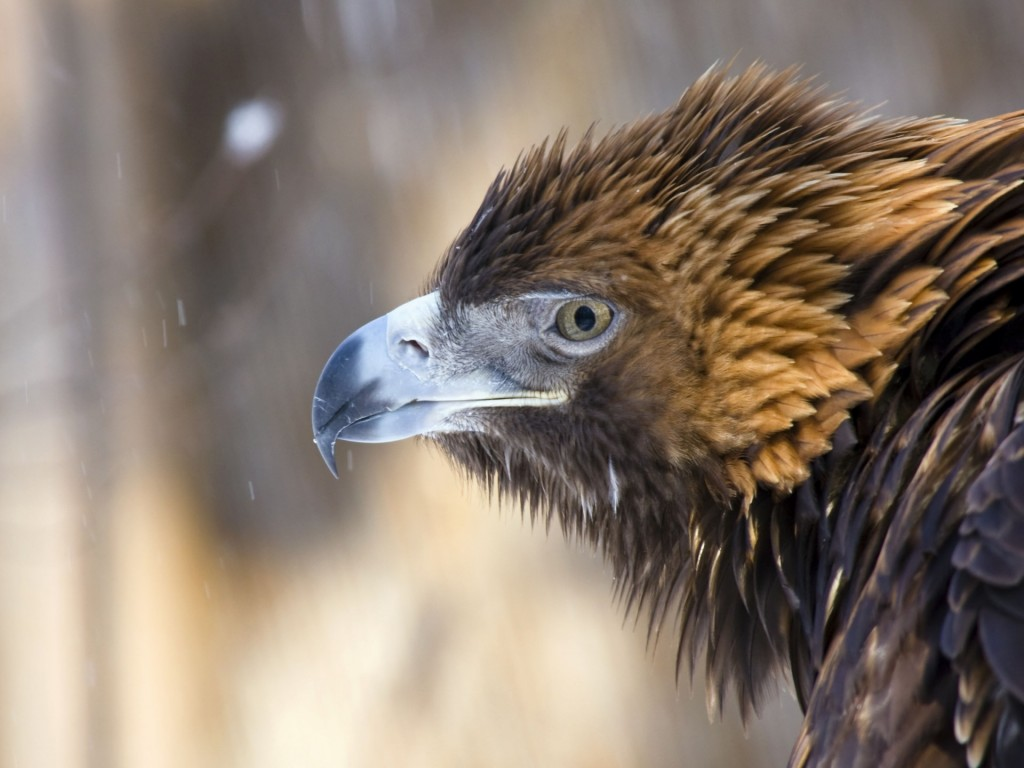 Golden-Eagle-Winter-Profil-1440x1920