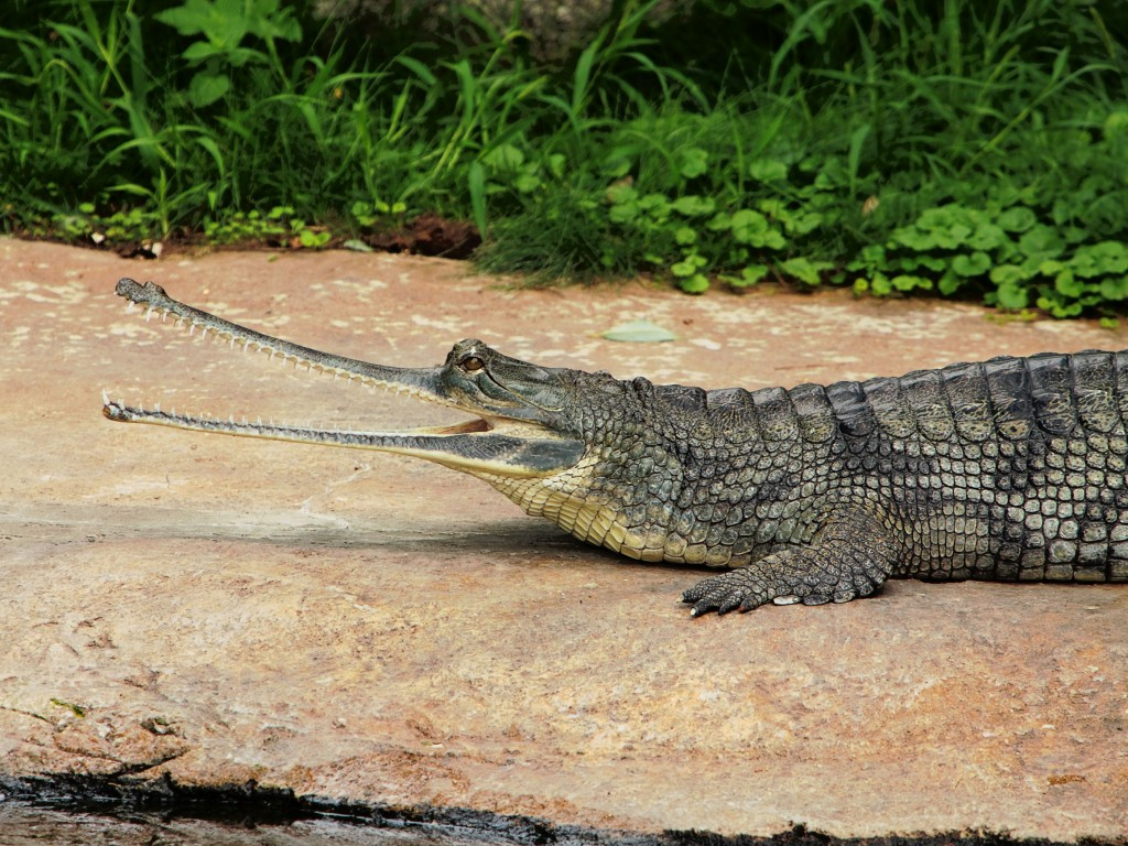 Indian-Gavial-Crocodile-1536x2048