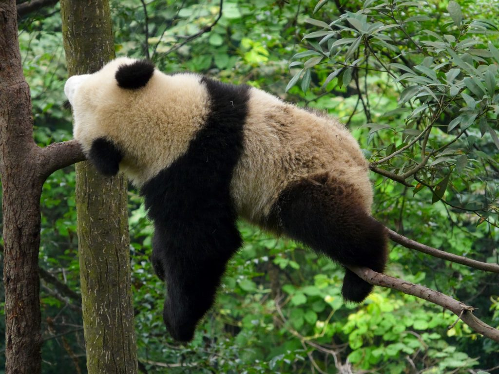 Panda-Sleeping-On-Tree-1440x1920