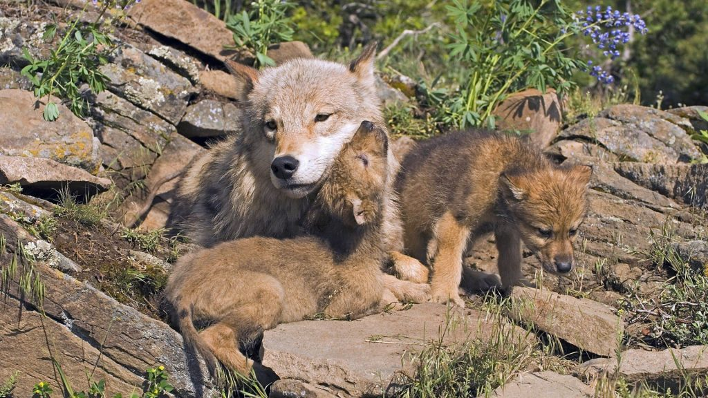 Wolf-Mom-And-Cubs-1080x1920