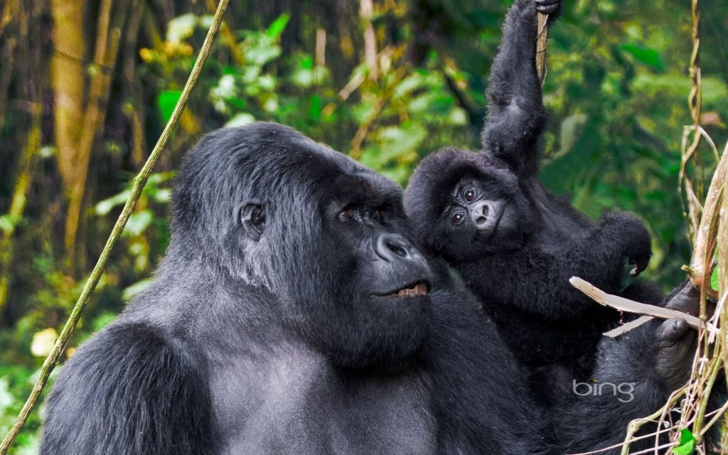 africa-bing-animals-baby-gorillas-1920x1200-16850