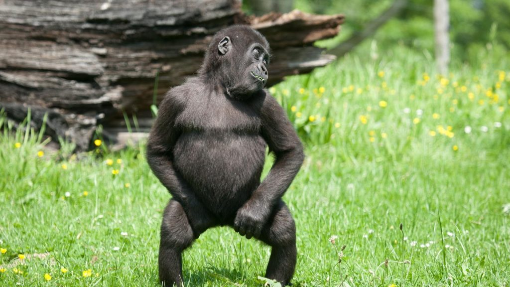 animals-baby-gorillas-grass-monkeys-1920x1080-112685