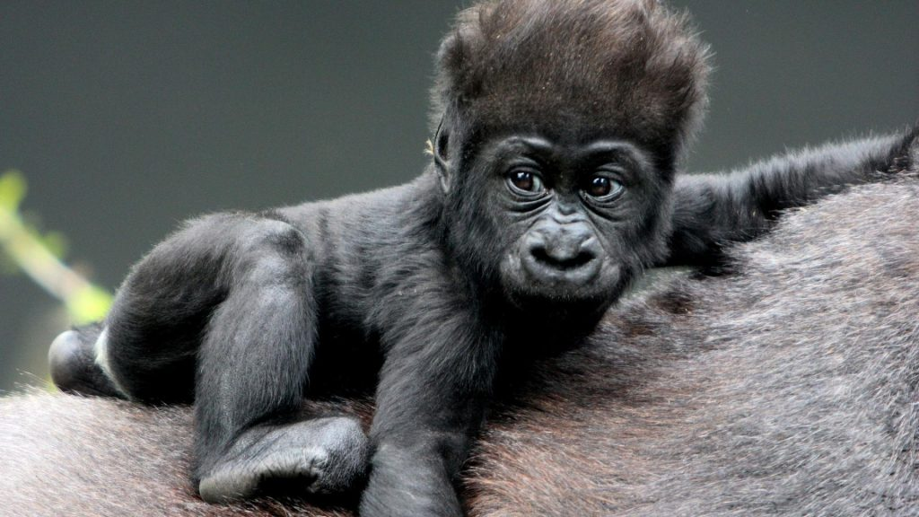 animals-gorillas-baby-1920x1080-38336