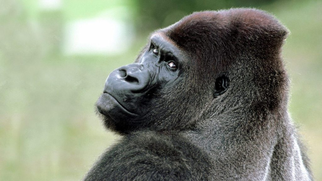 animals-gorillas-nature-1920x1080-103417