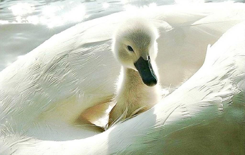baby-swan-on-her-mother-s-back