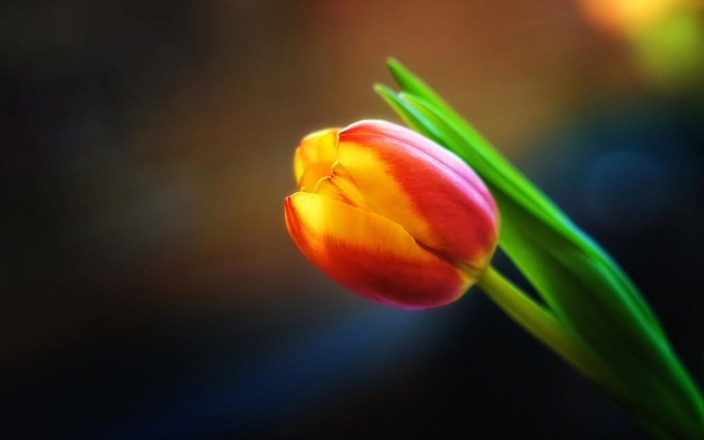 beautiful-red-and-yellow-tulip-hd-wallpaper_5120x3200