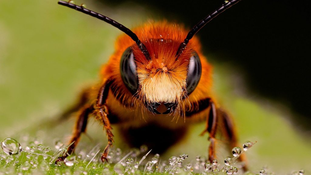 bees-closeup-focused-insects-macro-1920x1080-105871