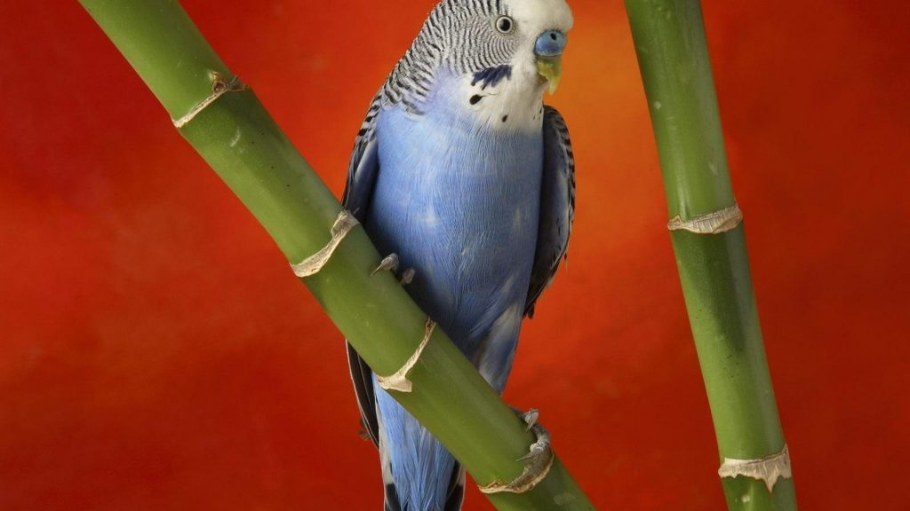 birds-animals-bamboo-parakeets-budgerigar-1920x1080-68220