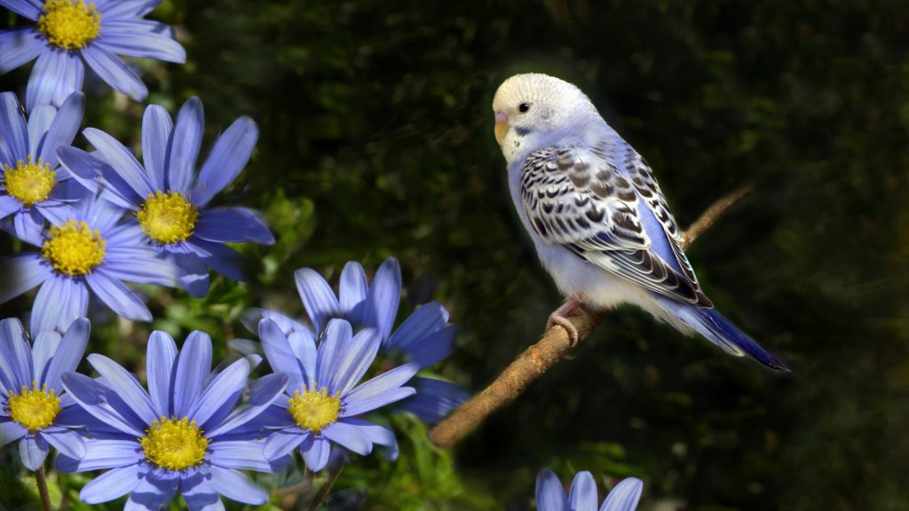 birds-animals-parakeets-budgerigar-1920x1080-52071