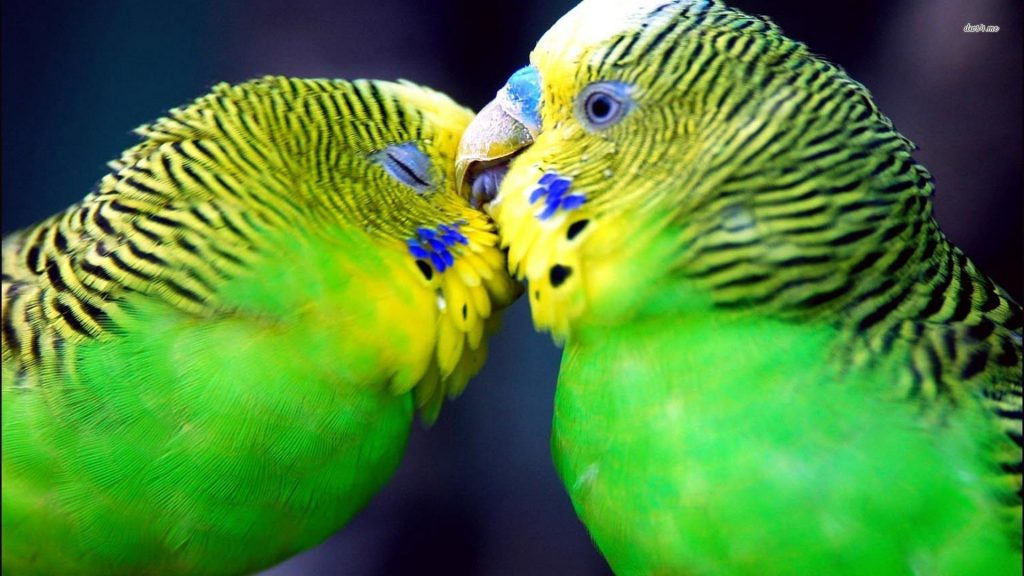 birds-parrots-affection-parakeets-budgerigar-1920x1080-46647
