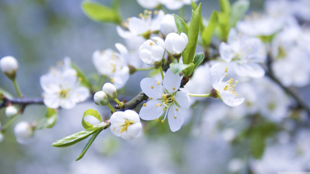 blossoms-flowers-macro-spring-white-1920x1080-31455