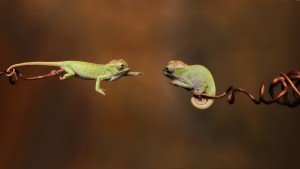 branches_reptiles_chameleons_couple_31710_3840x2160