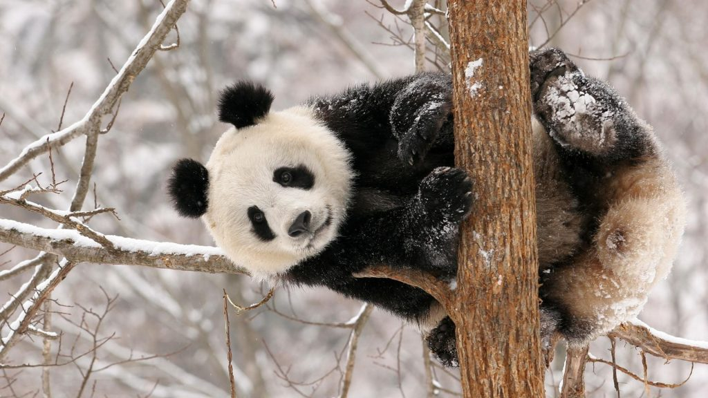 china-animals-panda-bears-1920x1080-39172