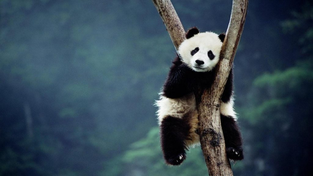 china-animals-panda-bears-bing-1920x1080-43900