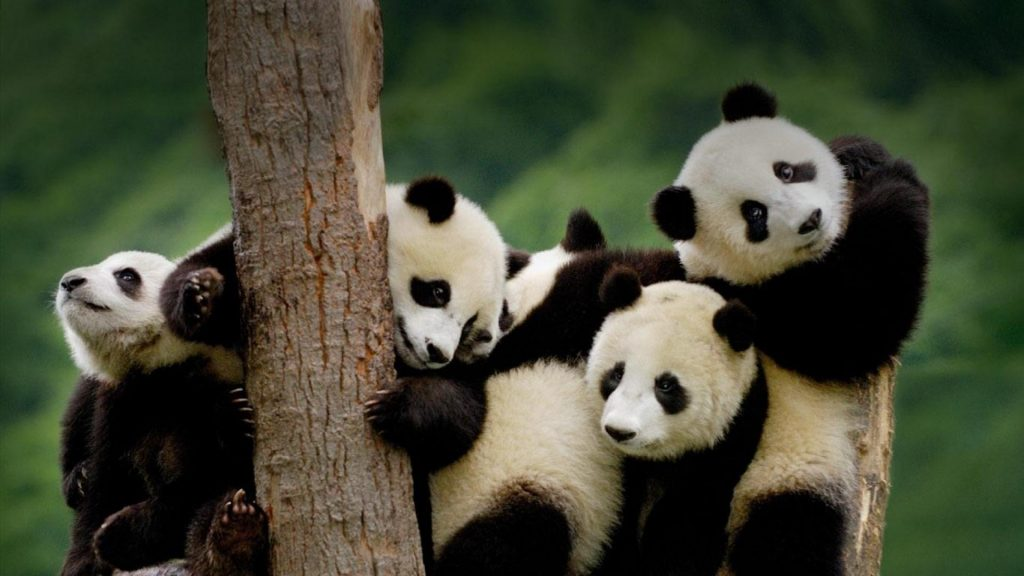 china-animals-panda-bears-bing-baby-1920x1080-55096