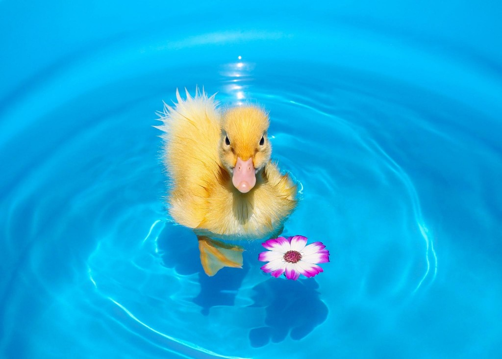 duckling_chick_flower_water_hd_free