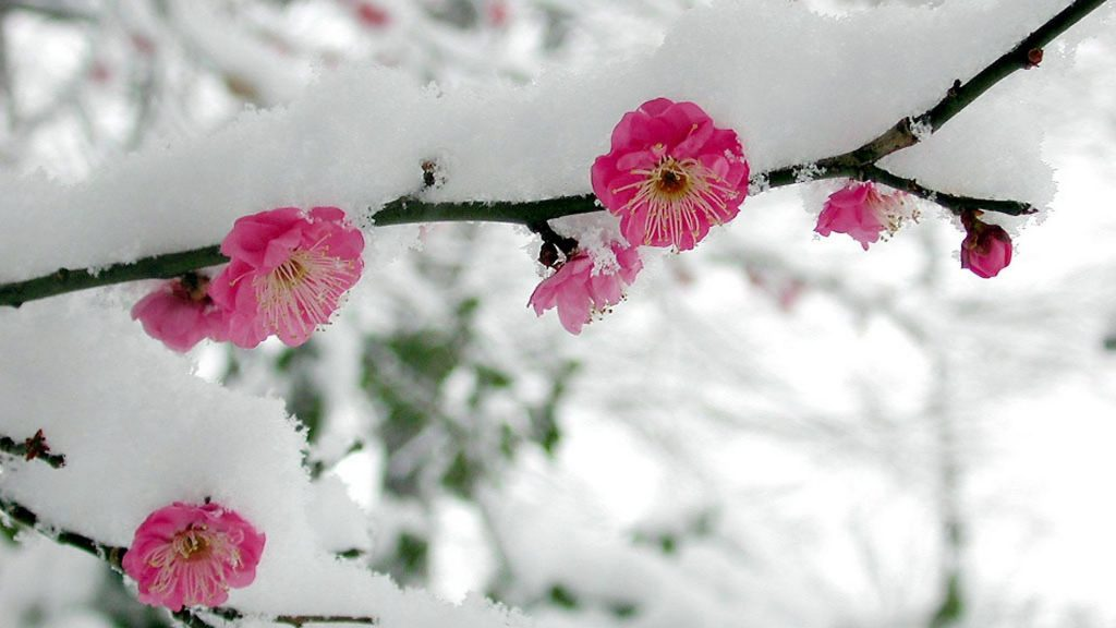 japan-snow-cherry-blossoms-flowers-pink-1920x1080-22090